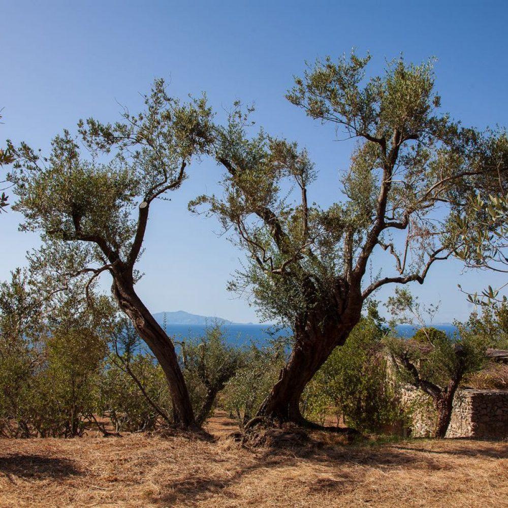 Anacapri tra i primi comuni d'Italia ad avviare la raccolta delle olive 2020 grazie all'associazione L' Oro di Capri